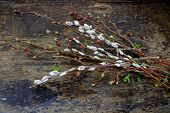 picture of willow  - Willow branches with catkins on an old vintage wood from above - JPG