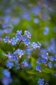 picture of forget me not  - Spring time flowers forget me not in the park - JPG