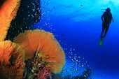 pic of coral reefs  - Scuba diving on coral reef in sea - JPG