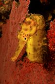 picture of seahorse  - Yellow Tigertail Seahorse - JPG