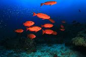 picture of bigeye  - Red fish on coral reef - JPG