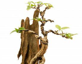 image of juniper-tree  - Chinese green bonsai tree on white background - JPG