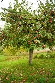 stock photo of apple tree  - Apple trees in an orchard with red apples ready for harvest - JPG