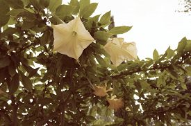 picture of angel-trumpet  - Yellow angels trumpet flower (Brugmansia arborea). Photo taken on cloudy day.