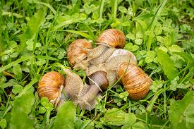 stock photo of hermaphrodite  - Group of snails sneaking through a forest grass meadow