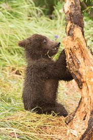 picture of bear-cub  - A brown bear cub sitting in the grass chews the branch of a tree - JPG