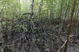 pic of ecosystem  - view of mangue - JPG