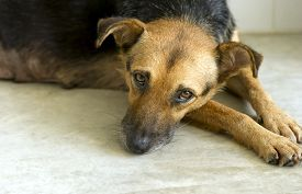 foto of sad  - Sad dog is a very sad eyed dog looking lost lonely and abandoned - JPG