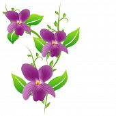 Three Viola flowers and leaves isolated on white