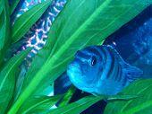 Pregnant Femal Kenyi Cichlid