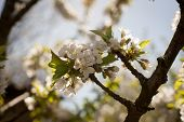 Spring. Apple Trees In Blossom. Flowers Of Apple. White Blooms Of Blossoming Tree Close Up. Beautifu poster