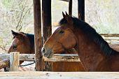 Horses resting in the stable, Equus caballus, farming series