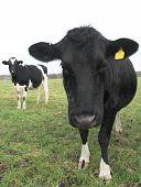 2 Cows