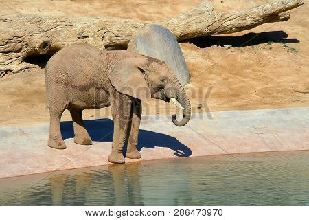 Elephant Is Drinking Water At