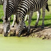 Two zebras are dinking water from lake.