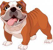 Bulldog Inglês, estando na frente de fundo branco