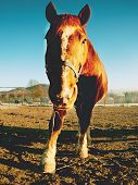 Clam Curious Horse. Winter Sunny Day With Mist In Valley. Nice Rown Horse In Front Of Camera.. poster