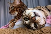 Bengal Cat: Bengal Cat Looking Upside Down In Camera. In Background Another Bengal Cat. poster