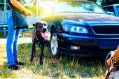Purebred Great Dane .  Domestic Animals,  Purebred Dog . poster