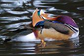 Mandarin Duck Preening