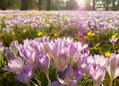 Violet Flowers At The Flora In Cologne, Germany, Are The First Blossoming Plants In Spring poster