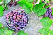 Fresh Grapes. The Harvest Of Grapes. Purple Grapes And Grape Leaves. poster