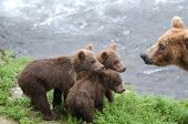 Grizzly Bear Cubs