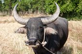 foto of female buffalo  - Buffalo in sunny day in Rayong province of Thailand - JPG
