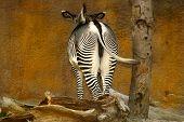 Zebra Bum & Wall