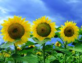 Three sunflowers in sunflower field