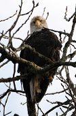 Águila calva - árbol