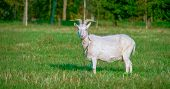 A White Domestic Goat Standing On The Farm Seems Looking For Something. The Domestic Goat Is A Subsp poster