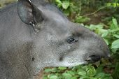 Portrait Of Tapir
