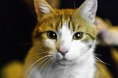 Portrait Of Yellow White Domestic Cat Looking In Camera - Shallow Depth Of Field Close Up Direct Sho poster