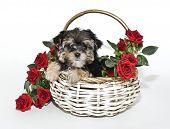 Cute Yorkie Poo Puppy