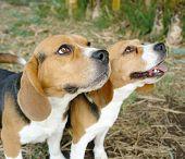 Beagle Two