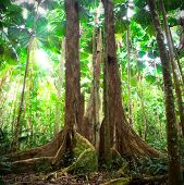 rainforest tropical gigantic trees with fan palms queensland Australia cape tribulation daintree rai