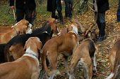 stock photo of foxhound  - foxhounds waiting for eating the roe deer - JPG