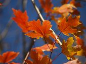 Beautiful Orange And Red Maple Leaves