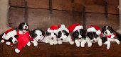 Eight little 5 weeks old border collie puppies with christmas santa hats