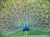 stock photo of female peacock  - A male peacock resplendent during a courtship dance to attract female - JPG