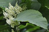 Knotweed japonés flores