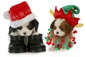 puppy santa and elf - cavalier king charles spaniel puppy dressed up like santa and elf on white bac