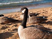 Close View Of A Goose