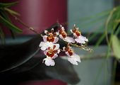 Plüsch Vuylstekeara Cambria-Orchidee