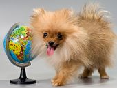 Pomeranian With A School Globe