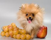Pomeranian With Fruit