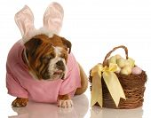 Bulldog Dress As Bunny With Easter Basket