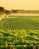 soybean field in south dakota, usa, at dawn