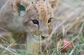 Little Lion Cub In Grass
